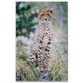 Cheetah - wild-animals photo