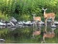 Deer - wild-animals photo