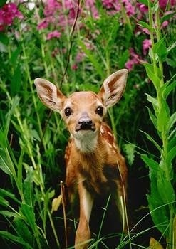 Wild Animals wallpaper entitled Fawn