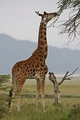 Giraffe - wild-animals photo