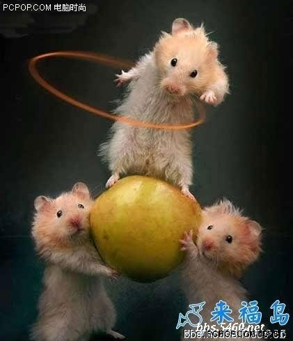 Domestic Animals wallpaper with a mouse and a rat called Playtime