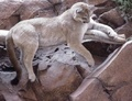 Puma - wild-animals photo