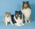 Rough collies - dogs photo