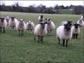 Sheep! - ireland photo
