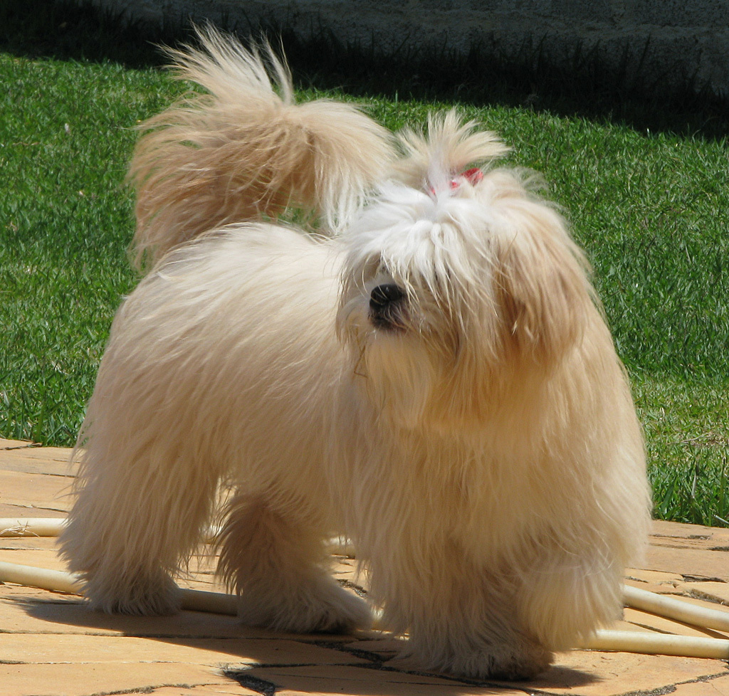 Lhasa Apso images Show Dog HD wallpaper and background photos (4243770 ...