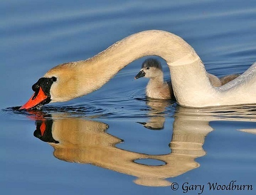 Wild Animals wallpaper called Swan