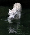 White Tiger - wild-animals photo
