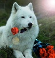 White Wolf - wild-animals photo