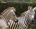 Zebras - wild-animals photo