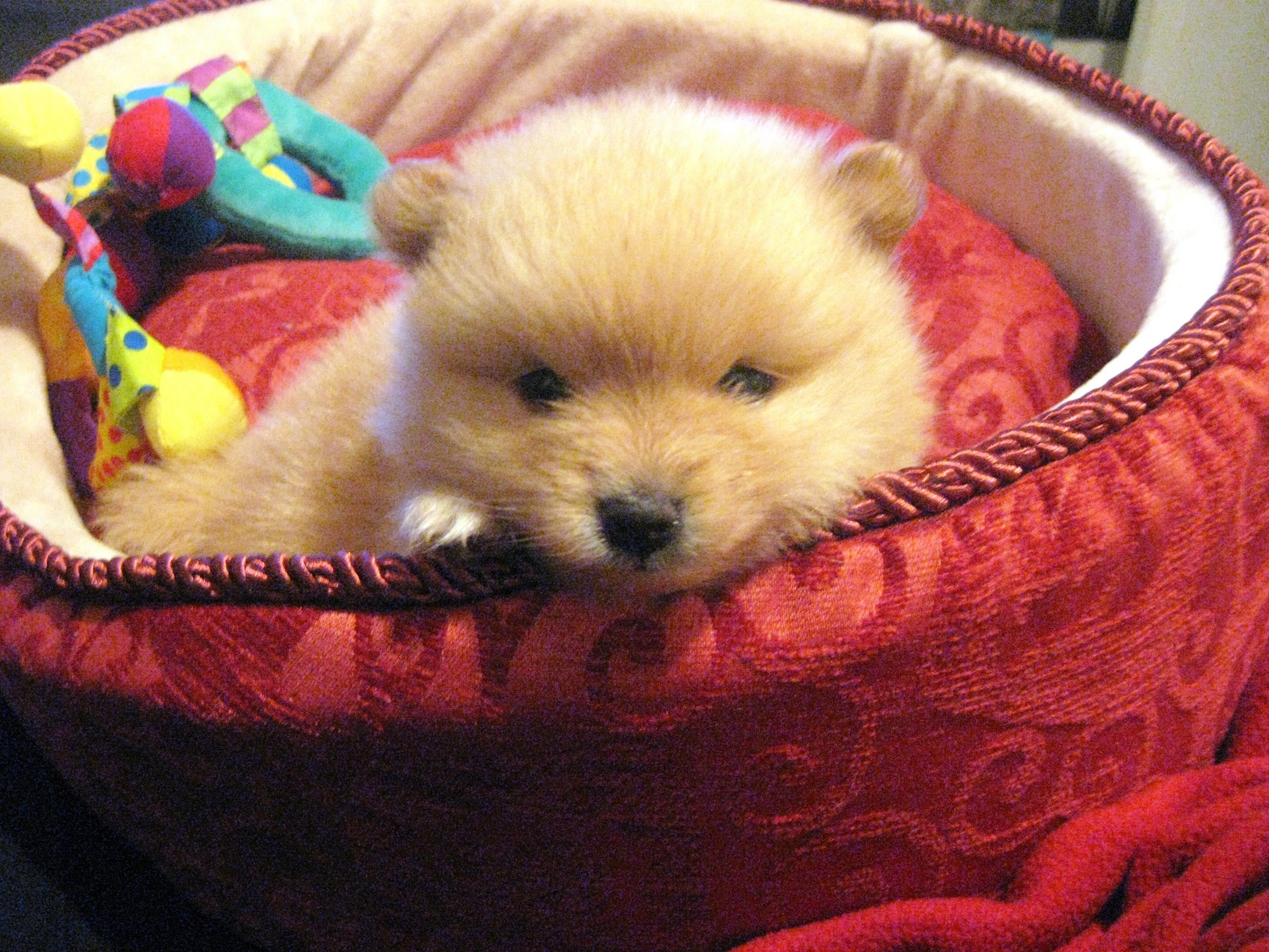 Dogs pomeranian puppy