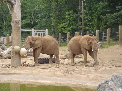 Seneca Park Zoo Elephants-Jenny C & lilas