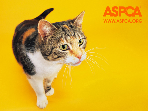 Against Animal Cruelty! wallpaper with a tabby and a tabby called ASPCA Cat Wallpaper
