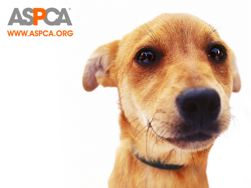 Against Animal Cruelty! wallpaper entitled ASPCA Dog Wallpaper