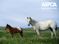 ASPCA Horse Wallpaper - against-animal-cruelty wallpaper