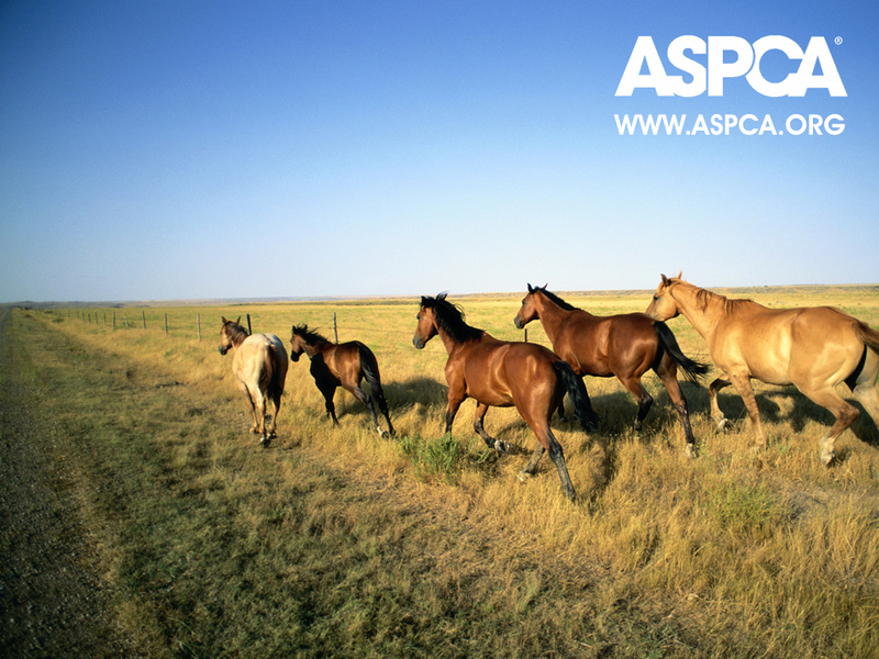 horses wallpaper. ASPCA Horse Wallpaper