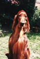 irish setter - irish-setters photo