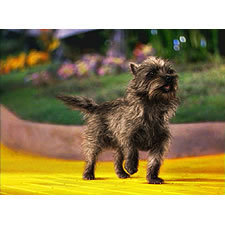 The Wizard of Oz wallpaper probably with an affenpinscher titled Toto On The Yellow Brick Road