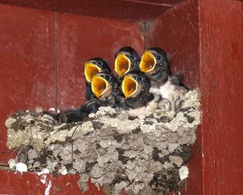 Baby Birds - wild-animals Photo
