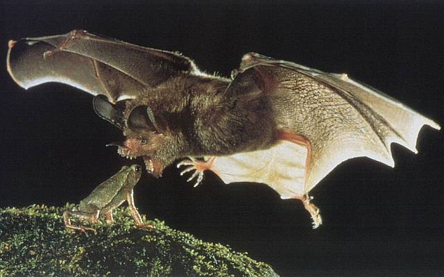 The MB Spirit Animal Guide Vampire-Bat-wild-animals-4636290-640-399