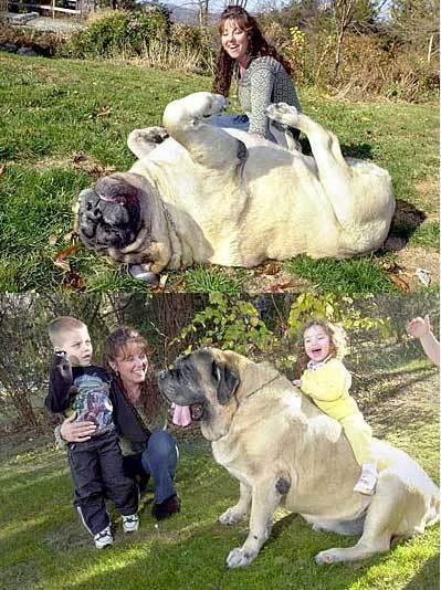 giant dog**