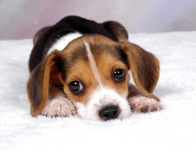 anjing pemburu, beagle is the cutest dog ever!!!!!!!!!!!