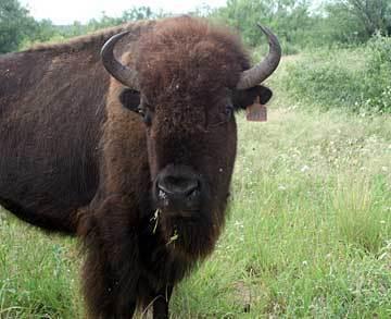 Wild Animals wallpaper titled Bison