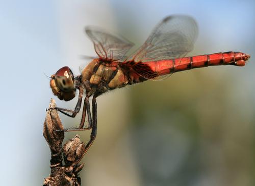 Dragonfly Macro fotos por hypergurl