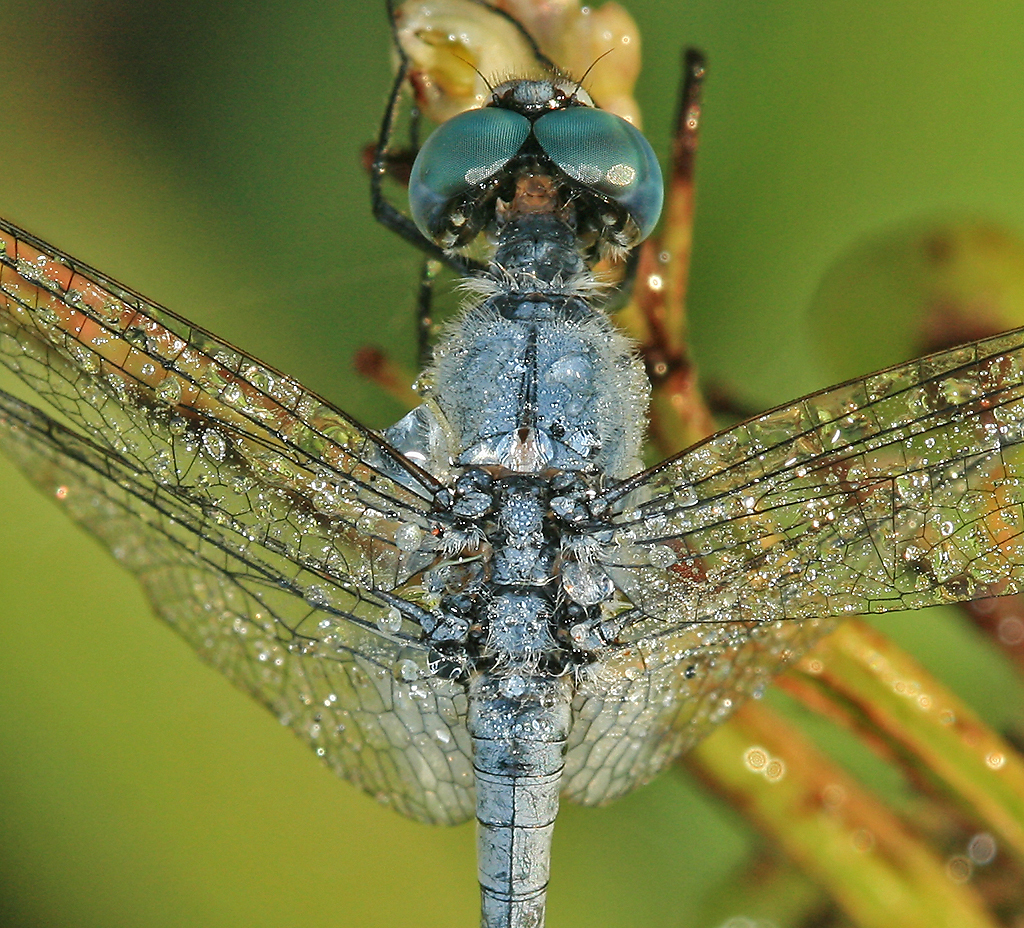 Insectology Images Dragonfly Macro Photos By Hypergurl HD