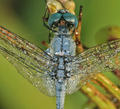 Dragonfly Macro Photos by hypergurl - insectology photo