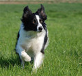 Border Collie - border-collie photo