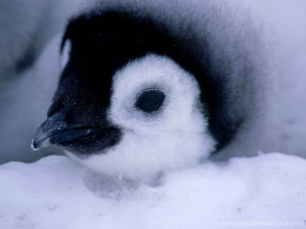 Cute baby emperor penguin - photo#28
