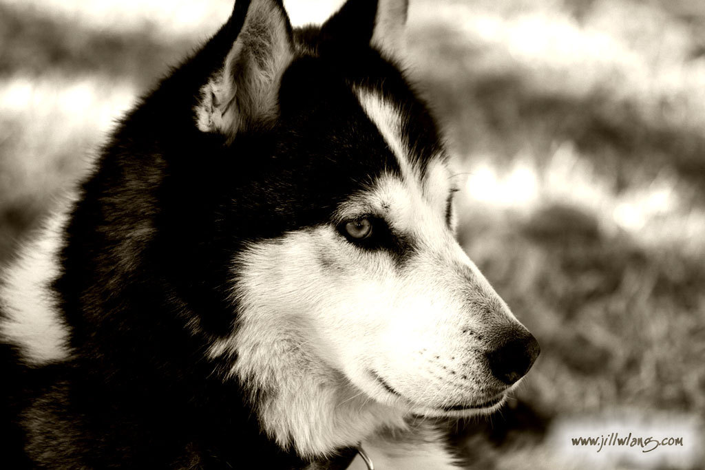 Siberian husky wallpaper | Wallpaper Wide HD