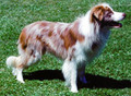 Red Merle Border collie - border-collie photo