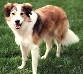 Sable and White Border Collie - border-collie Photo