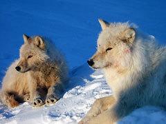 Arctic mga lobo