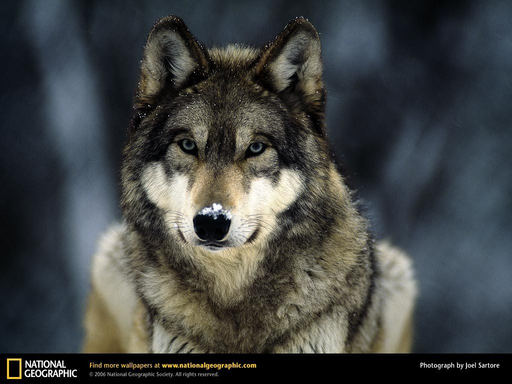 grey wolf in the snow   wolves wallpaper 4966029   fanpop