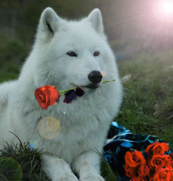 wolves images wolf with rose wallpaper and background photos 4964961