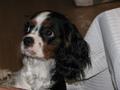etie's cavalier king charles spaniel<3