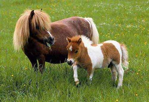poney and poulain