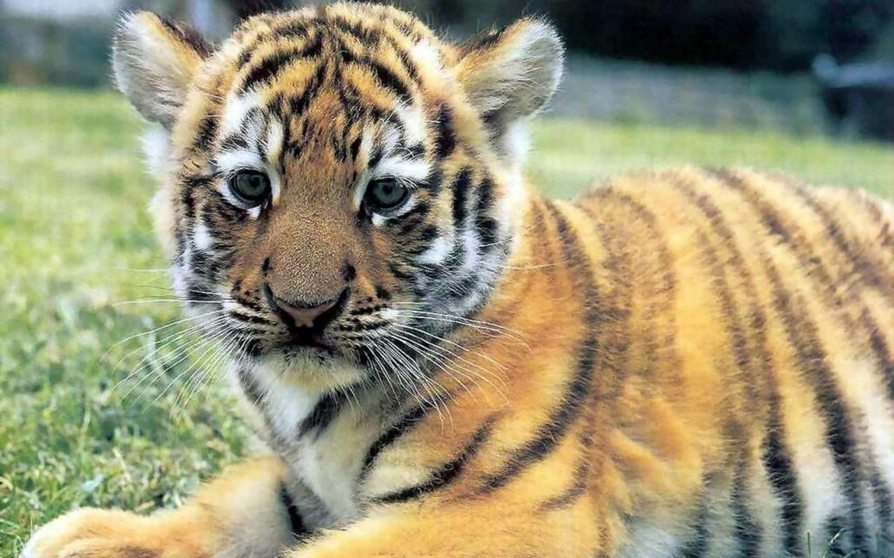 Cute tiger pictures - photo#21