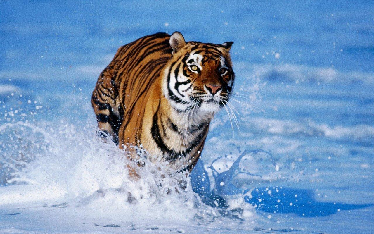 Bengal Tiger Running