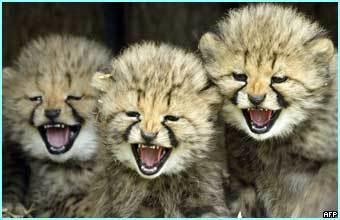 cheetah images cute cheetahs wallpaper and background photos 5067291