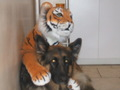 scobee an adobted dog (german shep)