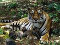 tiger pics