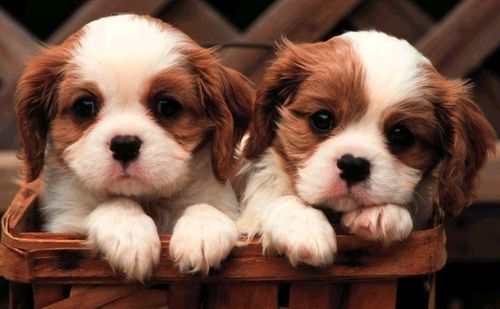 Dogs wallpaper probably containing a blenheim spaniel and a king charles spaniel titled Cute pups