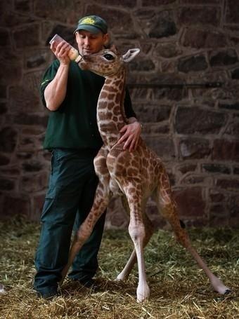 Wild Animals wallpaper titled Newborn Giraffe
