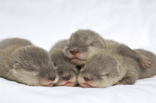 SeaWorld Orlando's Newborn Otters in Good Hands