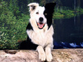 Border collie kertas dinding
