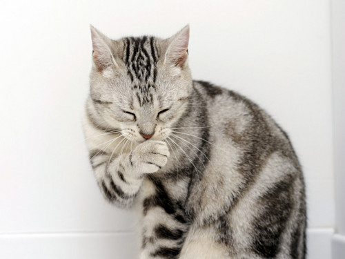 Domestic Animals wallpaper with a tabby and a tabby called Cat Collection