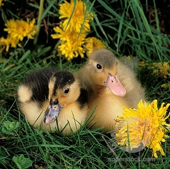 Domestic Animals wallpaper probably with a duckling called Farm Animals Collection